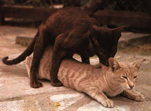 house-cat-sex-mating